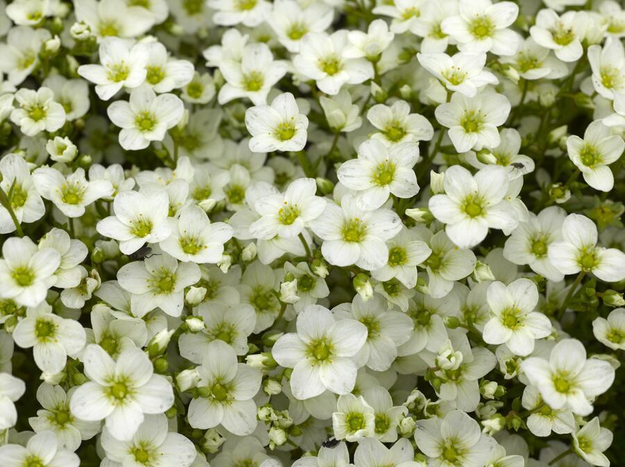Lomikámen arendsův 'Alpino White' - Saxifraga x arendsii 'Alpino White'