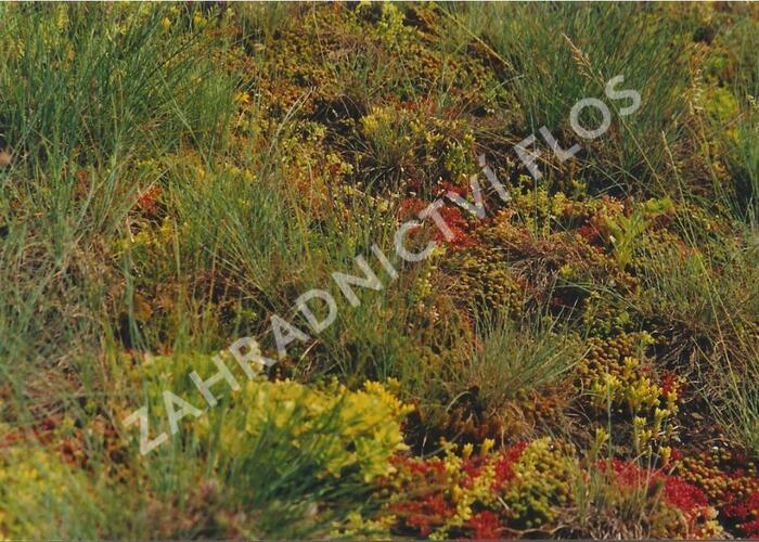 Koberec z rozchodníků, bylinek a trav - Sedum, bylinky a trávy - předpěstované rohože