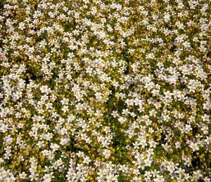 Lomikámen arendsův 'Alpino Early White' - Saxifraga x arendsii 'Alpino Early White'