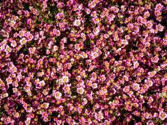 Lomikámen arendsův 'Alpino Early Pink Heart' - Saxifraga x arendsii 'Alpino Early Pink Heart'