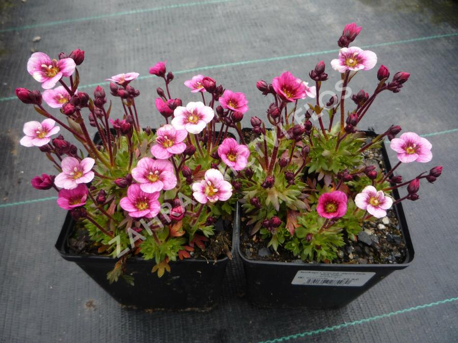 Lomikámen arendsův 'Alpino Early Pink Heart' - Saxifraga x arendsii 'Alpino Early Pink Heart'