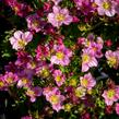 Lomikámen arendsův 'Alpino Early Pink' - Saxifraga x arendsii 'Alpino Early Pink'