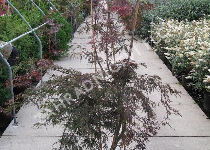 Javor dlanitolistý 'Dissectum Garnet' - Acer palmatum 'Dissectum Garnet'