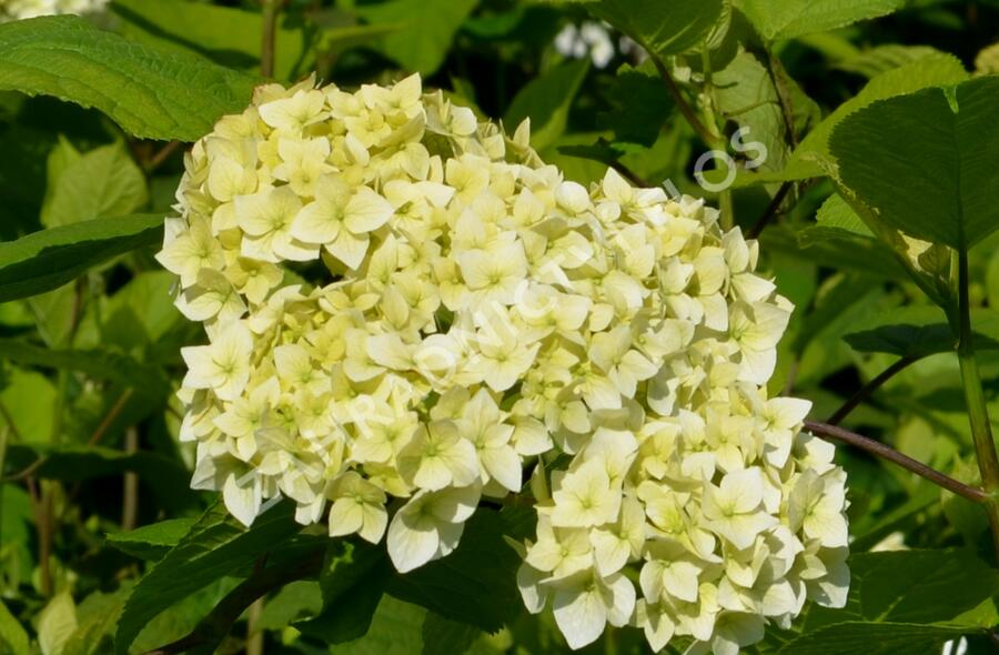 Hortenzie stromečkovitá 'Grandiflora' - Hydrangea arborescens 'Grandiflora'