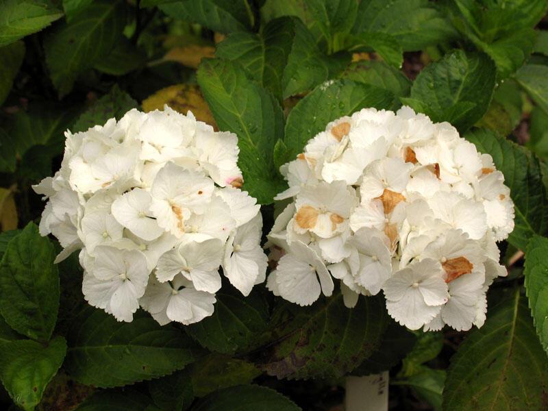 Hortenzie velkolistá 'Schneeball' - Hydrangea macrophylla 'Schneeball'