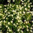 Lomikámen arendsův 'Alpino Early Lime' - Saxifraga x arendsii 'Alpino Early Lime'