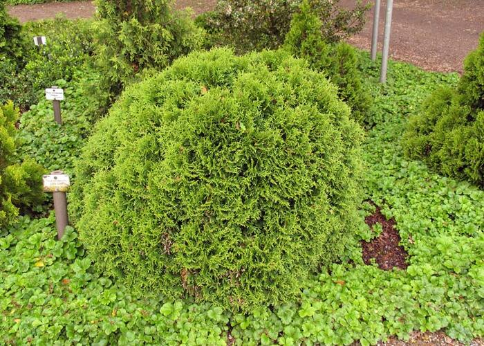 Zerav západní 'Little Giant' - Thuja occidentalis 'Little Giant'
