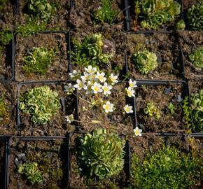 Lomikámen vždyživý - Saxifraga paniculata minutifolia