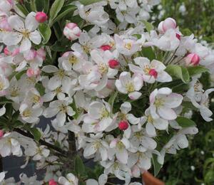 Okrasná jabloň 'Pom Zai' - Malus 'Pom Zai'