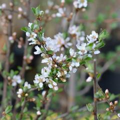 Višeň plstnatá 'Orient' - Prunus tomentosa 'Orient'