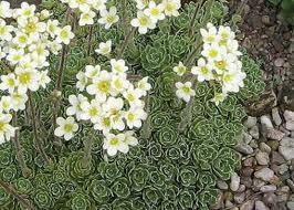 Lomikámen vždyživý - Saxifraga paniculata