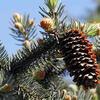 Smrk pichlavý 'Koster' - Picea pungens 'Koster'