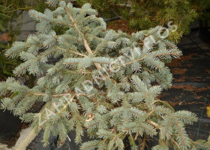 Smrk pichlavý 'Glauca Procumbens' - Picea pungens 'Glauca Procumbens'