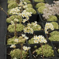 Lomikámen 'Minor' - Saxifraga aizoides 'Minor'