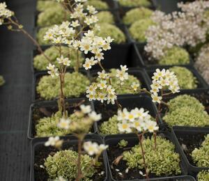 Lomikámen 'Minor' - Saxifraga aizoides 'Minor'