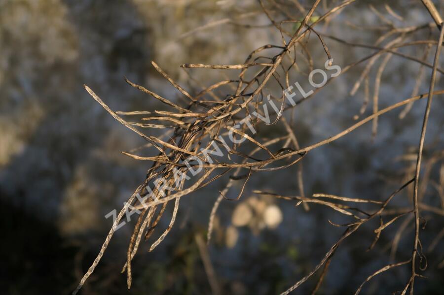 Večernice vonná - Hesperis matronalis
