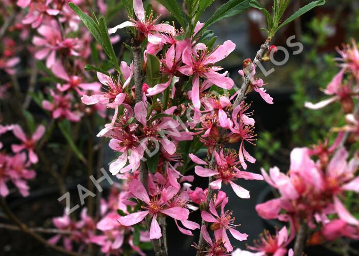 Mandloň nízká - Prunus tenella