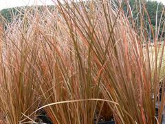 Ostřice Petreiova 'Milk Choclat' - Carex petriei 'Milk Choclat'
