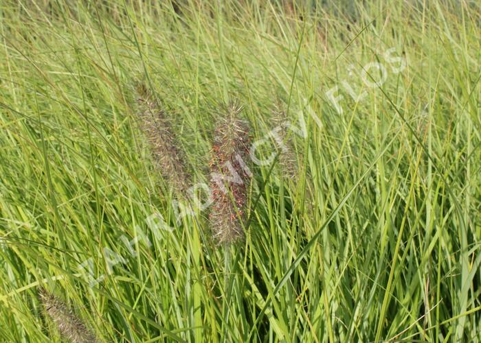 Dochan psárkovitý 'Herbstfreude' - Pennisetum alopecuroides 'Herbstfreude'