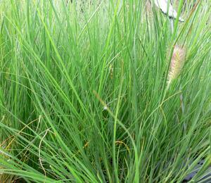 Dochan psárkovitý 'Herbstzauber' - Pennisetum alopecuroides 'Herbstzauber'