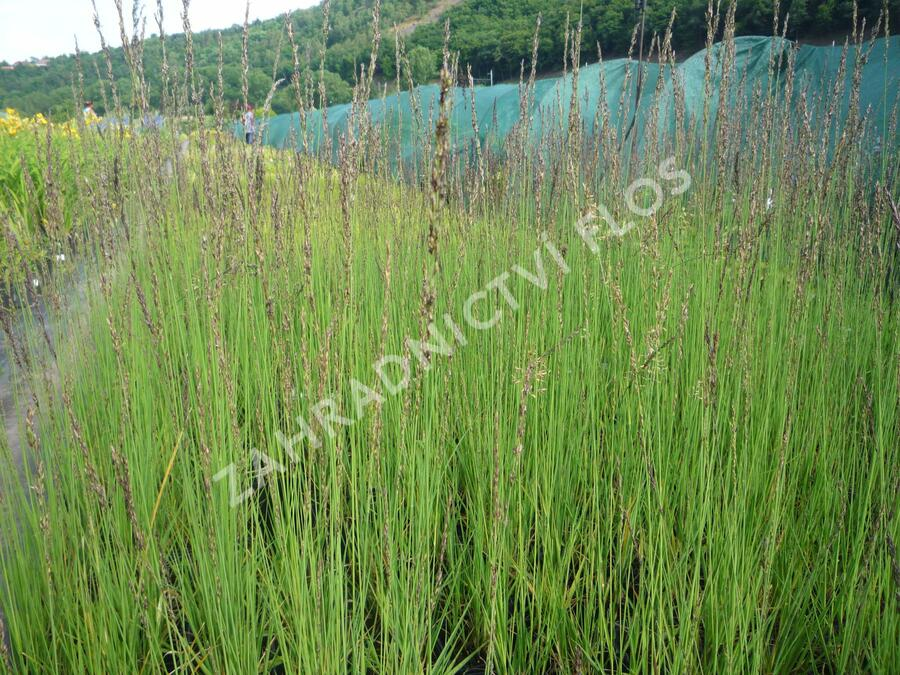 Bezkolenec modrý 'Heidebraut' - Molinia caerulea 'Heidebraut'