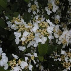 Kalina japonská - Viburnum plicatum
