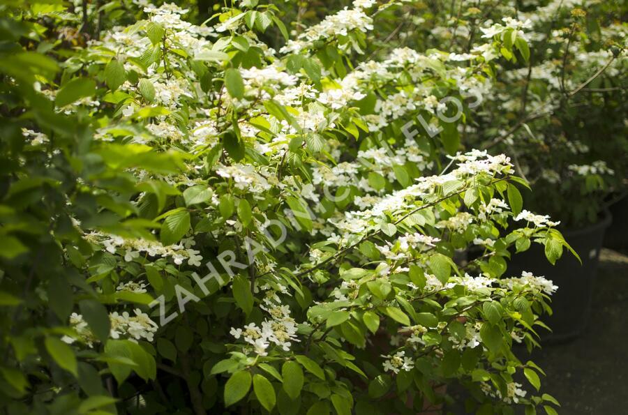 Kalina japonská 'Mariesii' - Viburnum plicatum 'Mariesii'