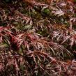 Javor dlanitolistý 'Inaba Shidare' - Acer palmatum 'Inaba Shidare'
