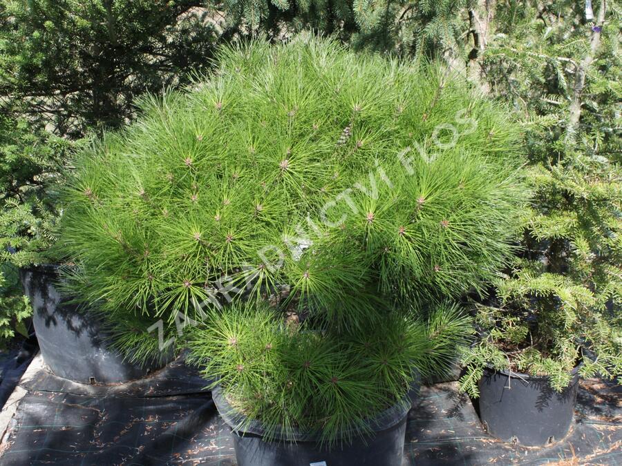 Borovice hustokvětá 'Alice Verkade' - Pinus densiflora 'Alice Verkade'