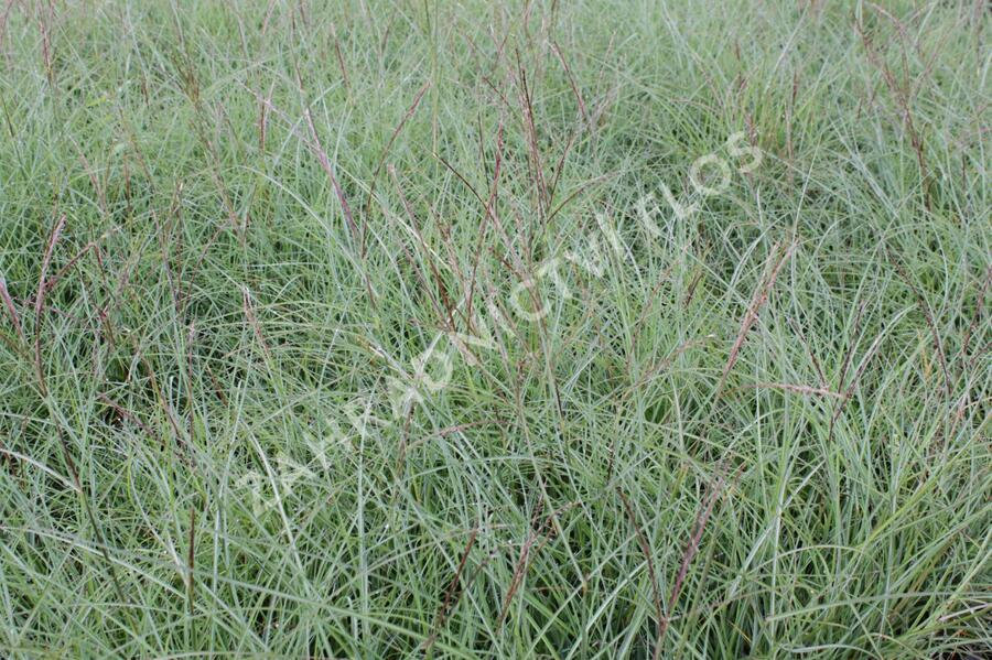 Ozdobnice čínská 'Yakushima Dwarf' - Miscanthus sinensis 'Yakushima Dwarf'