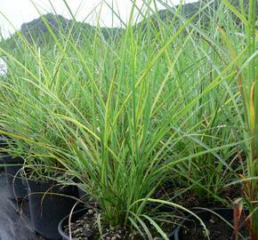 Ozdobnice čínská 'Undine' - Miscanthus sinensis 'Undine'