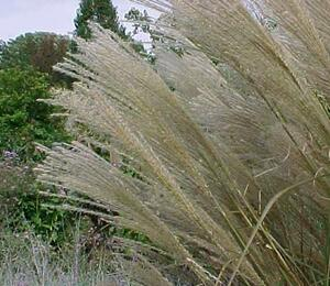 Ozdobnice čínská 'Sarabande' - Miscanthus sinensis 'Sarabande'