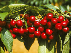 Třešeň středně raná - chrupka 'Van' - Prunus avium 'Van'