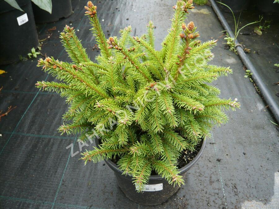 Smrk ztepilý 'Maxwellii' - Picea abies 'Maxwellii'