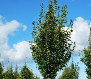 Habr obecný 'Fastigiata' - Carpinus betulus 'Fastigiata'