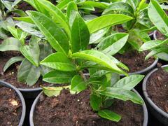 Bobkovišeň lékařská 'Mount Vernon' - Prunus laurocerasus 'Mount Vernon'