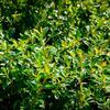 Skalník 'Little Beauty' - Cotoneaster x suecicus 'Little Beauty'