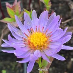 Hvězdnice novobelgická 'Rosa' - Aster novi-belgii 'Rosa'
