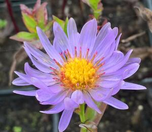 Hvězdnice novobelgická 'Rosa' - Aster novi-belgii 'Rosa'