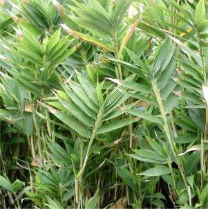 Bambus 'Distichus' - Pleioblastus pygmaeus 'Distichus'