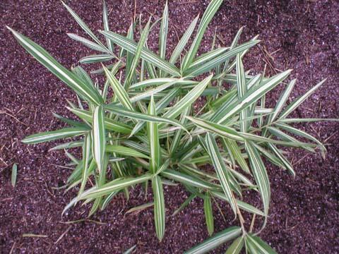 Bambus 'Variegata' - Pleioblastus fortunei 'Variegata'