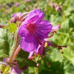 Kakost kantabrijský - Geranium x cantabrigiense