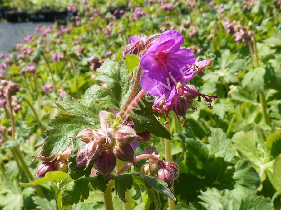 Kakost - Geranium x cantabrigiense