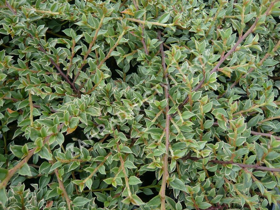 Skalník vodorovný 'Variegatus' - Cotoneaster horizontalis 'Variegatus'