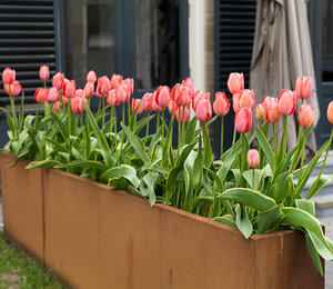 Tulipán Darwin hybrid 'Red Impression' - Tulipa Darwin hybrid 'Red Impression'