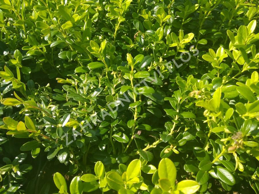 Brusinka obecná 'Koralle' - Vaccinium vitis-idaea 'Koralle'