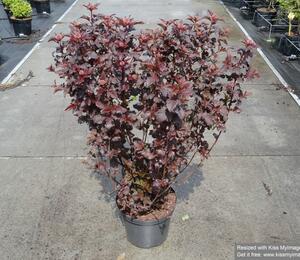 Tavola kalinolistá 'Diabolo' - Physocarpus opulifolius 'Diabolo'