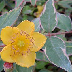 Třezalka Moserova 'Tricolor' - Hypericum moserianum 'Tricolor'