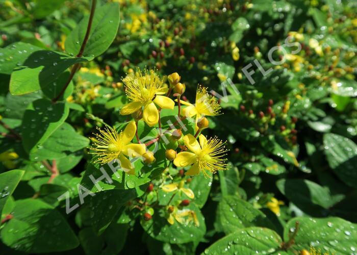 Třezalka nevonná 'Rheingold' - Hypericum inodorum 'Rheingold'