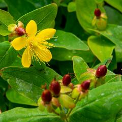 Třezalka nevonná 'Elstead' - Hypericum inodorum 'Elstead'